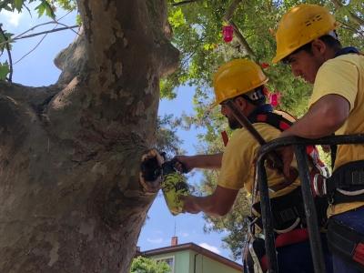 Asırlık Çınar Ağaca Baştan Aşağı Bakımı